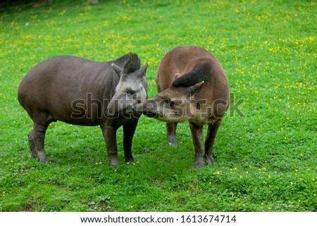 Lowland Tapir, tapirus terrestris, Female with Male