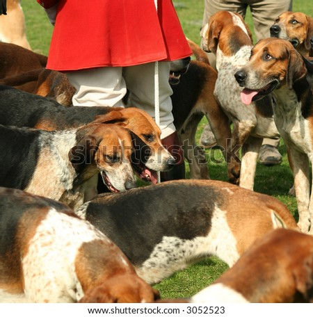LOYAL AND OBEDIENT FOX HUNTING HOUNDS