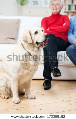 Loyal golden retriever dog sitting on the living room floor panting with its owners sitting on the sofa in the background