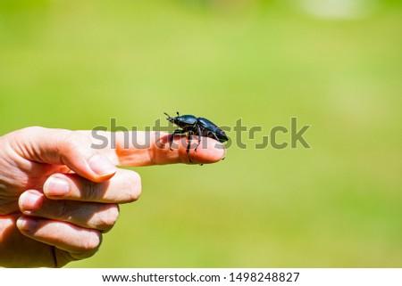 Lucanus cervus beetle posing on finger #1498248827