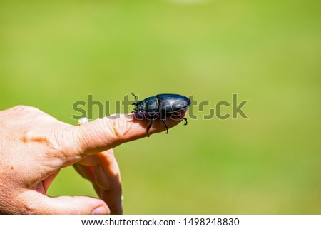 Lucanus cervus beetle posing on finger #1498248830