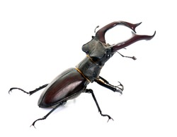 Lucanus cervus in front of white background