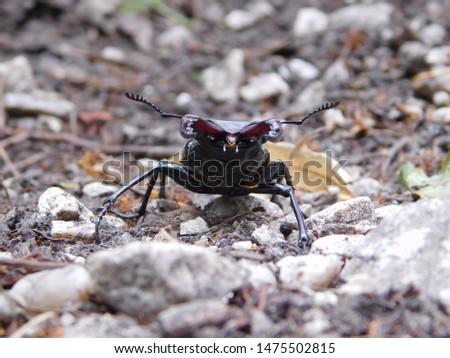 Lucanus cervus  stag beetle, czech republic, Palava, Divci hrad #1475502815