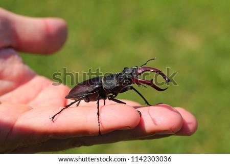 Lucanus cervus, stag beetle on my hand. #1142303036