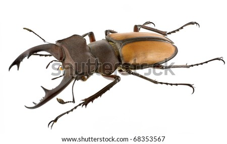 Lucanus laetus (stag beetle) isolated on a white background.