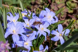 Lucile's Glory-of-the-Snow (Chionodoxa luciliae) in garden