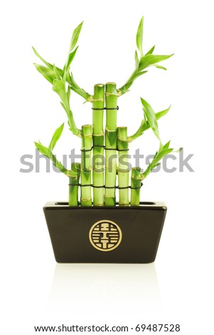 Lucky bamboo in pot, isolated on white