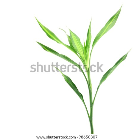 lucky bamboo isolated on white background