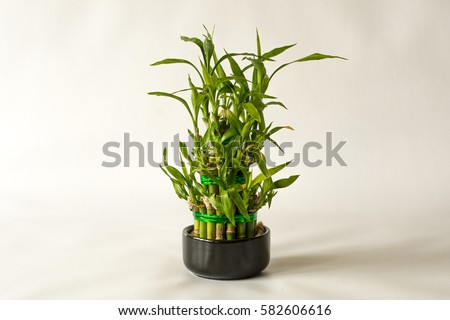 Lucky Bamboo Plant. Small bamboo in the pot. Isolated on white background. Close up. #582606616