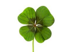 Lucky clover, four leaf clover