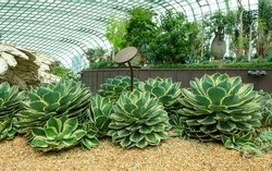 Lucky Crown Century Plant is rare agave stays small, eventually only a foot high; rosettes of oval leaves are blue-green with cream edges; spines emerge yellow and mature to cinnamon brown.