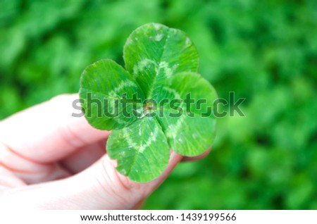 Lucky Four Leaf Clover for St. Patricks Day. Lucky Irish Four Leaf Clover. Green leaf clover closeup. A female hand holds a four-leaf clover. Selective focus of the image, copy space. #1439199566