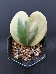 Lucky-heatrt, sweetheart, thick heart shaped leaf growing in black pot, decorative houseplant
