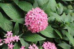 Lucky Star Deep Pink  flower