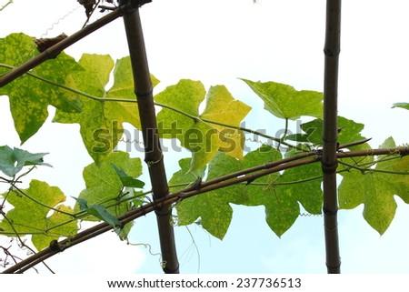 Luffa acutangula (L.) Roxb. in plant nursery bamboo dome #237736513