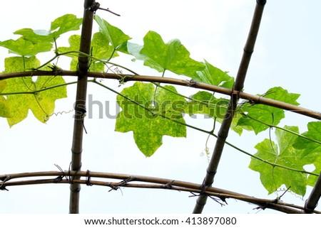 Luffa acutangula (L.) Roxb. in plant nursery bamboo dome #413897080