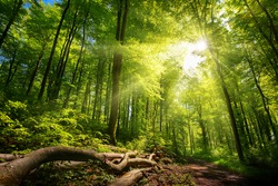Luminous sun rays falling through the green foliage in a beautiful forest, with timber beside a path