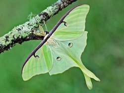 Luna Green Velvet Moth on Tree Branch