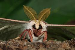 Luna Moth (Actias luna) male portrait, NJ
