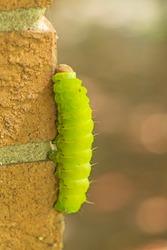 Luna Moth Caterpillar on a Brick Wall in Elk Grove Village, Illinois