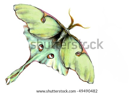 Luna Moth Illustration - stock photo