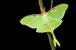 Luna Moth isolated on branch