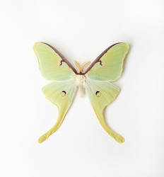 Luna Moth on white background
