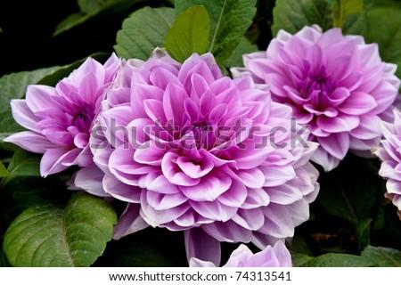 Lunar New Year Flower - Chrysanthemum