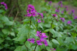 Lunaria annua in the forest in spring. Lunaria, common name honesty, is a genus of flowering plants in the family Brassicaceae. Berlin, Germany