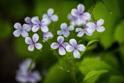 Lunaria rediviva - perennial honesty, family: Brassicaceae, blooming flowers, macro shot