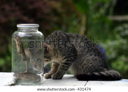 chinese cat in a jar. stock photo : Lunch.. a cat watching two toads in a jar.
