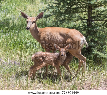 Lunch Break - A mule deer doe is stopped by her month old twin fawns (still have their spots for camouflage) for a lunch break. Silverthorne, Colorado.