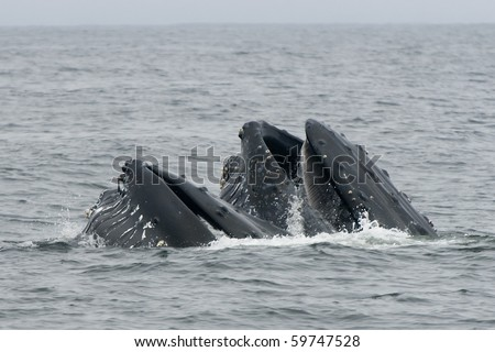 Lunge feeding Humpback whales off coast of Monterey, California