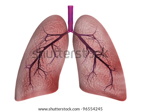 lungs - stock photo