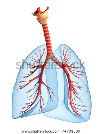 Lungs - pulmonary system. Perspective view, isolated on white