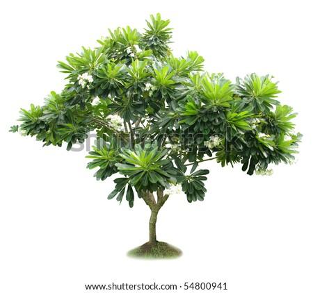 Luntom,Plumeria tree with flowers