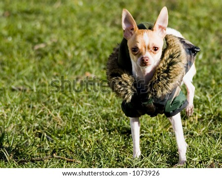 lupe the spoiled Chihuahua dog in fur coat and pointed ears - stock photo