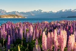 Lupin flower during springtime at Lake side of Tekapo, New Zealand