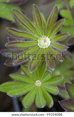 lupin leaves with water drops