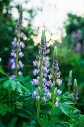 Lupine flowers growth on the field. Shallow depth of field. Selective focus.
