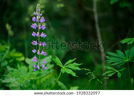 lupine. forest flowers. In the field, lupins grow on tall, powerful stems with delicate pink and purple flowers. beautiful and delicate flowers in green grass. bokeh, blurred natural background. stock photo