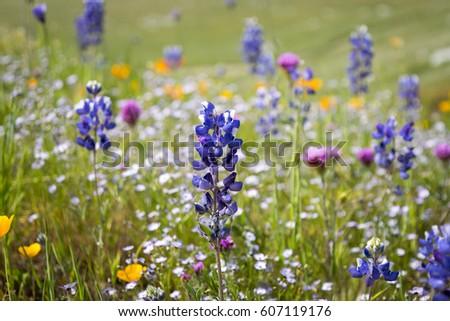 Lupine,  Gilia tricolor (Bird's-eyes), California Poppy (Eschscholzia californica), and Purple Owl's clover in a green meadow