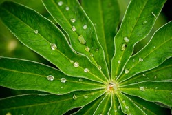 Lupine leafs rain drops background