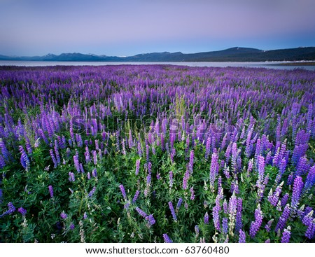 Lupine Meadow - Lake Tahoe, California