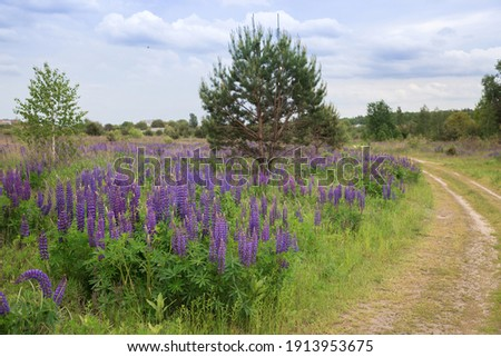lupines with pink, purple and blue flowers on a background of greenery growing on the side of the road. Beauty of nature. Summertime stock photo