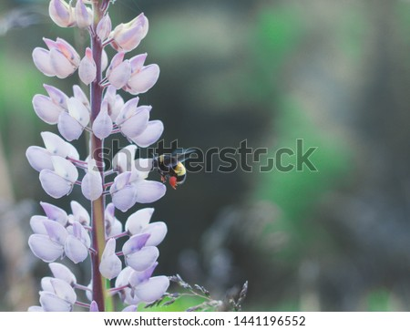 Lupins and Bees with full pollen baskets in Cape Breton, Nova Scotia