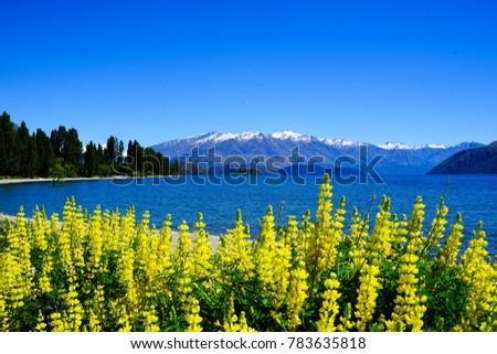 Lupins in lake wanaka #783635818