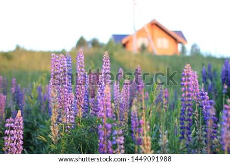 Lupinus flower floral floral green beauty garden #1449091988