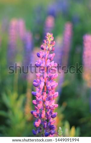 Lupinus flower floral floral green beauty garden #1449091994