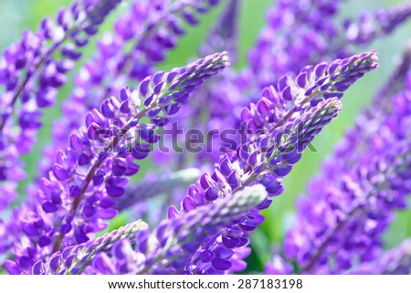 Free photos beautiful summer field with blue and purple lupine lupinus lupin lupine field with pink purple and blue flowers 287183198 mightylinksfo